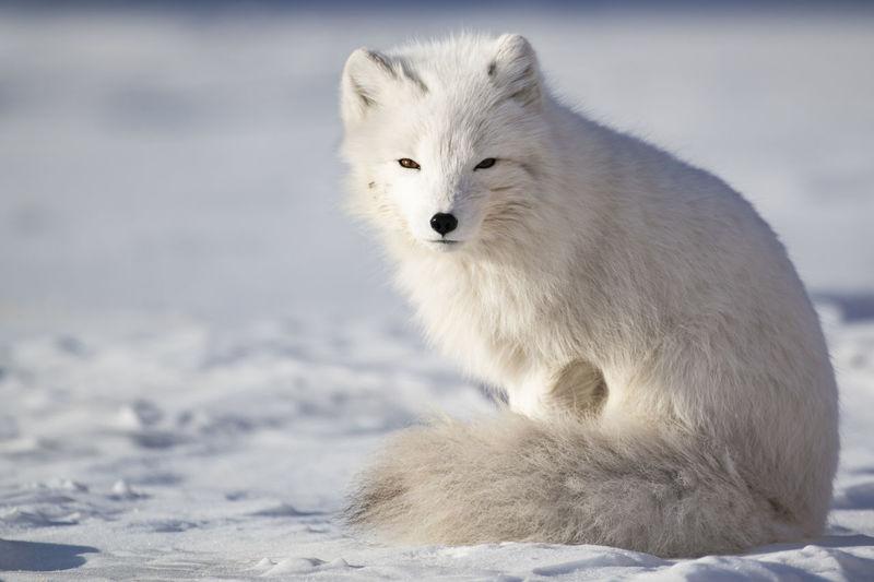 An arctic fox, enjoying the sunshine Arctic Fox Snow Winter Cold Temperature Animal Mammal One Animal White Color Nature Polar Climate No People Sitting Animal Hair Frozen Animal Wildlife Fox Svalbard  Arctic