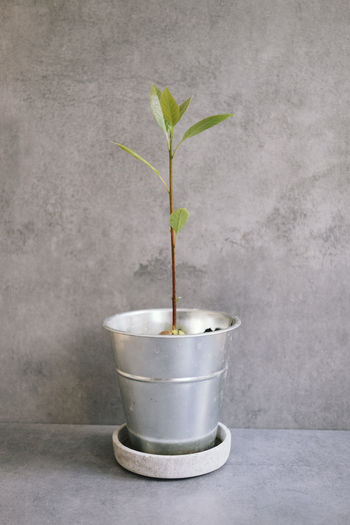 Just a lovely avocado tree Avocado Love ♥︎ Avocado Tree Avocado Plant Concrete Grey Grey Background Growth Indoors  Metal No People Plant Plant Part Potted Plant