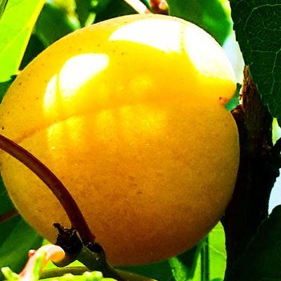 Dalindan Meyve ve ozellikle Kayisi bir baska guzel. Dogal ve Organik Meyve Ağacı