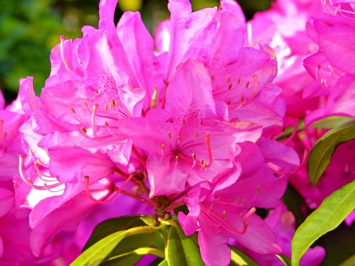 Flower Flowering Plant Pink Color Plant Beauty In Nature Petal Freshness Fragility Vulnerability  Growth Inflorescence Close-up Flower Head Rhododendron Nature Pollen Blossom Day No People Springtime Softness Bunch Of Flowers Lilac Spring