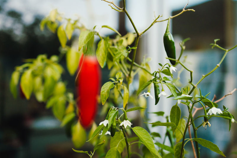 Close-up of red chili peppers plant