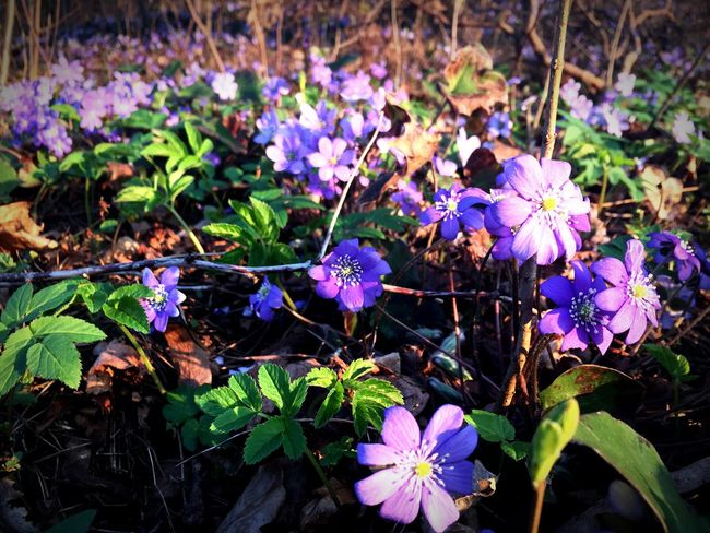 The Spring is here. Flower Nature Beauty In Nature Purple Close-up Blooming Springtime Spring Flowers Spring Has Arrived