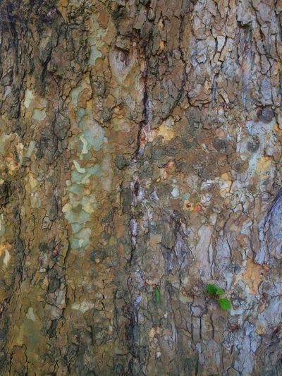 Textured  Nature Nature Textures Surfaces And Textures Textures And Surfaces Bark Texture Bark Texture Background Bark Beautiful Bark Textured  Textures In Nature Texture Tree Tree Trunk Tree Bark Huge Tree Big Tree I Love Trees Trees Tree_collection  Tree Trunks