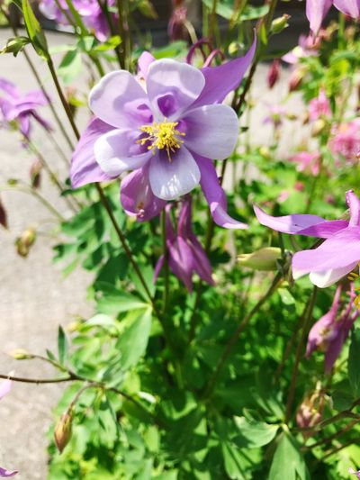 Columbine is delicate Relaxing Moments Eyem Best Shots Beauty In Nature Eyemphotography IPhoneography Gresham Oregon Delicate Flower Flowering Plant Flower Plant Beauty In Nature Freshness Fragility Vulnerability  Petal Close-up Growth Flower Head Inflorescence Pink Color Purple Nature Day No People Focus On Foreground Botany Pollen