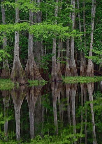 Cypress trees in black water Cypress Trees  Black Water Reflections Florida Life Nature Photography Awesome Colors Loving Life