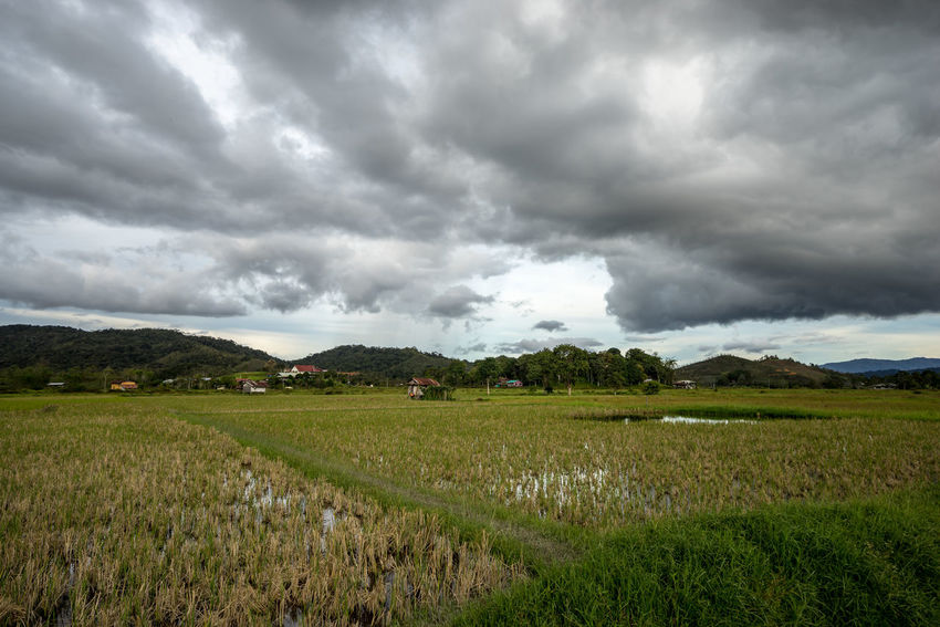 View of paddy field during harvest season in Bario, Sarawak - a well known place as one of the major organic rice supplier in Malaysia. BARIO Grass Rice Storm Clouds And Sky Harvest Malaysia Meadow Paddy Field Rural Scene Sarawak