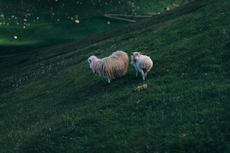 Animal Themes Beauty In Nature Day Domestic Animals Faroe Islands Field Färöer Grass Mammal Nature No People Outdoors Sheep Sheeps
