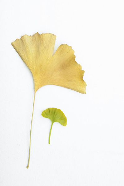 Young leafs of Ginkgo Biloba on a sunny day Dried Leaf Ginkgo Grandfather And Grandson Green Natural Sunny Biloba Floral Gingko Gingko Leaf Ginkgo Leaf Granfather Isolated White Background Old And Young Old Leaf Season  Seasonal Seasons Spring Springtime Young Leaf Young Leaves