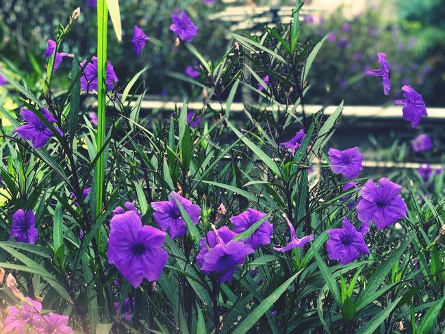Some flowers in violet EyeEm Nature Lover EyeEm Best Shots EyeEm Selects Flowering Plant Flower Plant Growth Freshness Beauty In Nature Fragility Vulnerability  Purple Close-up Nature Inflorescence No People Flower Head Petal Day Green Color Land Pink Color Focus On Foreground