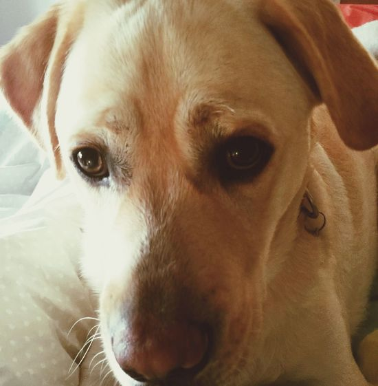 Miltonbiscuit Frowning Dogface Labrador Ilovemydog Whiskers