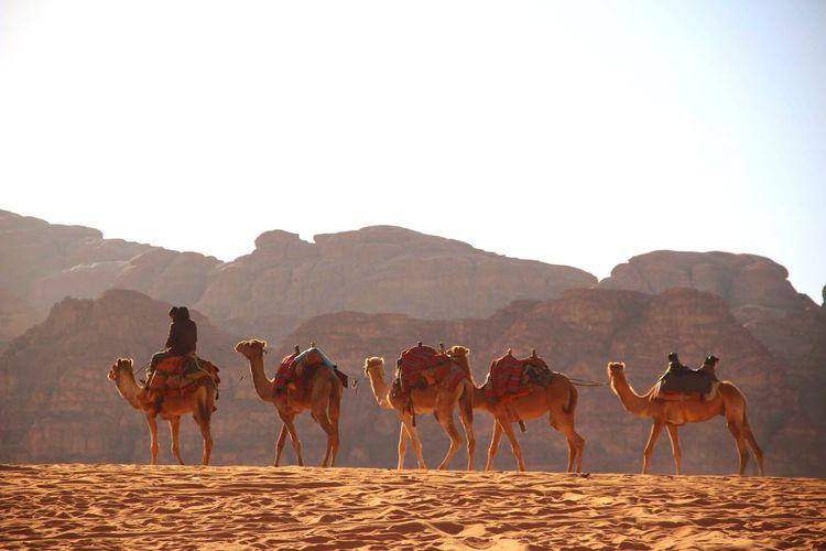 View of horses on desert against clear sky