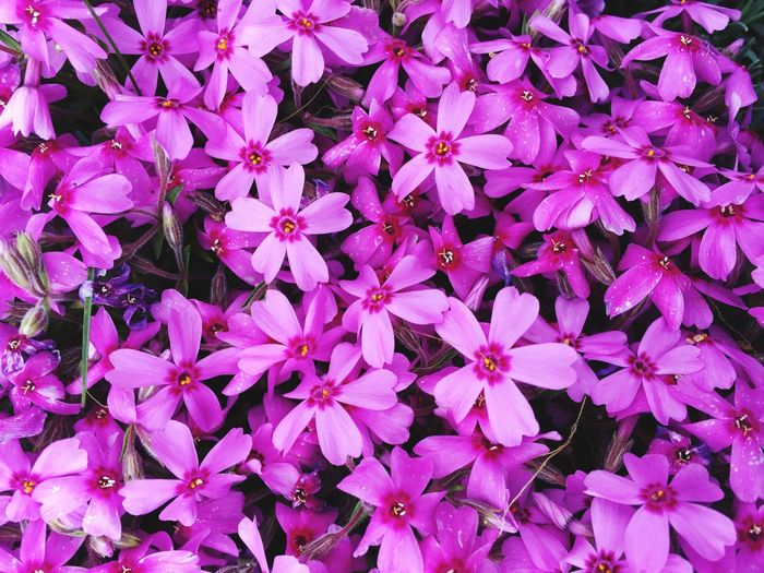 Full Frame Backgrounds Flower Growth Petal Beauty In Nature Nature No People Freshness Flower Head Close-up Day Fragility Pink Pink Color Flowers Phlox Flowers
