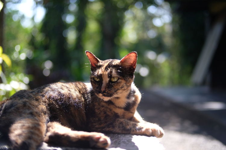 Thai Cat Animal Themes Cat Close-up Day Domestic Animals Domestic Cat Feline Focus On Foreground Kitten Local Cat Mammal Nature No People One Animal Outdoors Pets Sitting Sunlight
