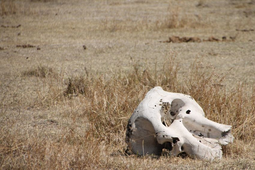 Field Grass No People Nature Animal Themes Bone  Day Outdoors Animal Bone Mammal Skull