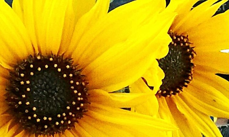 Weeds Are Beautiful Too Sunflower Roadside Attractions Macro Beauty