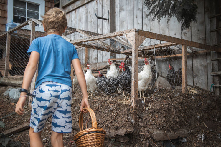 Rear view of boy holding eggs in basket at farm
