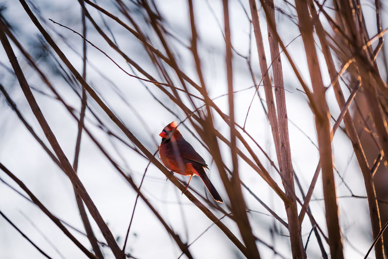 Cardinal Perching On Bare Tree Branch