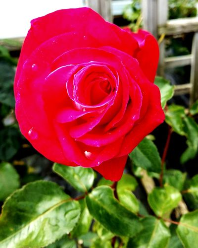 A Stunning Shot of a Beautiful Red Rose - Flower with Green Leaf Background . Featuring Flower Nature Petal Fragility Beauty In Nature Flower Head Plant Freshness Growth Focus On Foreground No People Pink Color Outdoors Day Drop Close-up Water Blooming