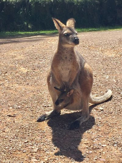 A very close encounter with a wild mother kangaroo and her child. (Without fence!) Wild Kangaroo Wild Wildlife Wild Kangaroo Animal Australia Kangaroos Child Kangaroo Mother Kangaroo Very Close Encounter Kangaroo Mammal Animal Themes Day One Animal Sunlight Outdoors No People Nature