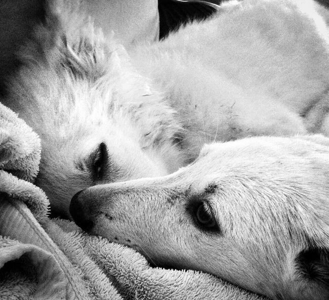 Sisters Sisters Forever Showcase July White German Shepherd Day At A Time Snuggle Buddy Showcase July Black And White Photography Best Eyeem Photo