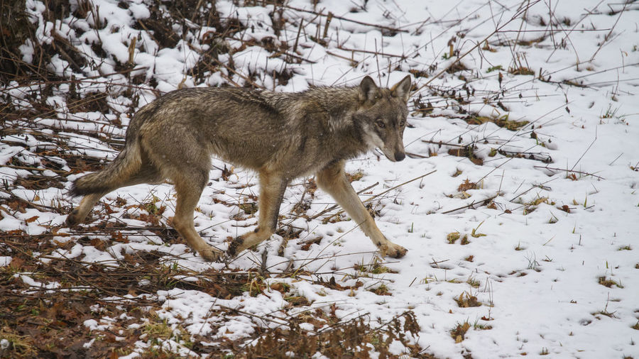 Abruzzo National Park Wildlife & Nature Wintertime Cold Temperature Italian Wildlife Italian Wolf Lupo Appenninico Parco Nazionale D'abruzzo Snow Wilderness Wolf Wolves In The Snow