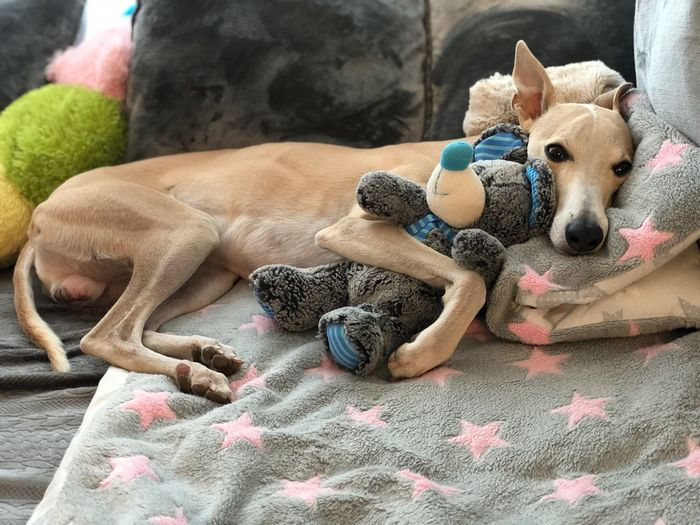 Whippets Whippet Pets Domestic Canine Dog Mammal Animal Themes Domestic Animals Animal One Animal No People Toy Animal Representation Relaxation Resting