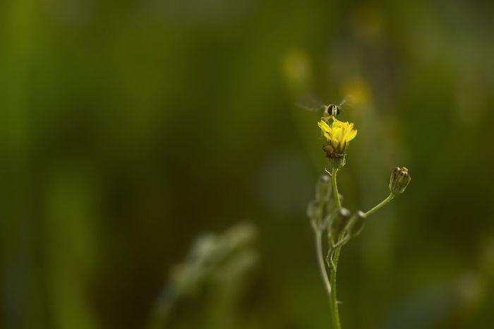 Beauty In Nature Bud Flower Fragility Green Nature Petal Plant Spider Stem Syrphe Syrphidae Yellow