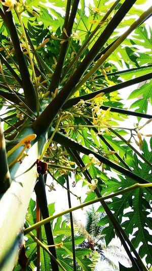 Pappaya Tree Naturebeauty Gogreen
