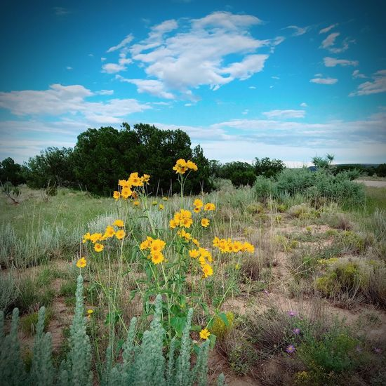 """""""Dance Of The Sunflowers"""" Summers waning weeks still pay homage to the flower of its season. Sunflowers Yellow Flower Wildflowers Wildflower New Mexico Skies New Mexico New Mexico Photography Flower Flowering Plant Growth Yellow Beauty In Nature Sky Cloud - Sky Tranquility Sunflower Landscape"""