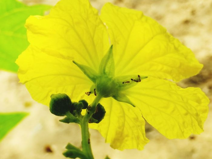 Flower Yellow Nature Flower Head Freshness Leaf Close-up Springtime Vibrant Color Ants At Work Ants Close Up