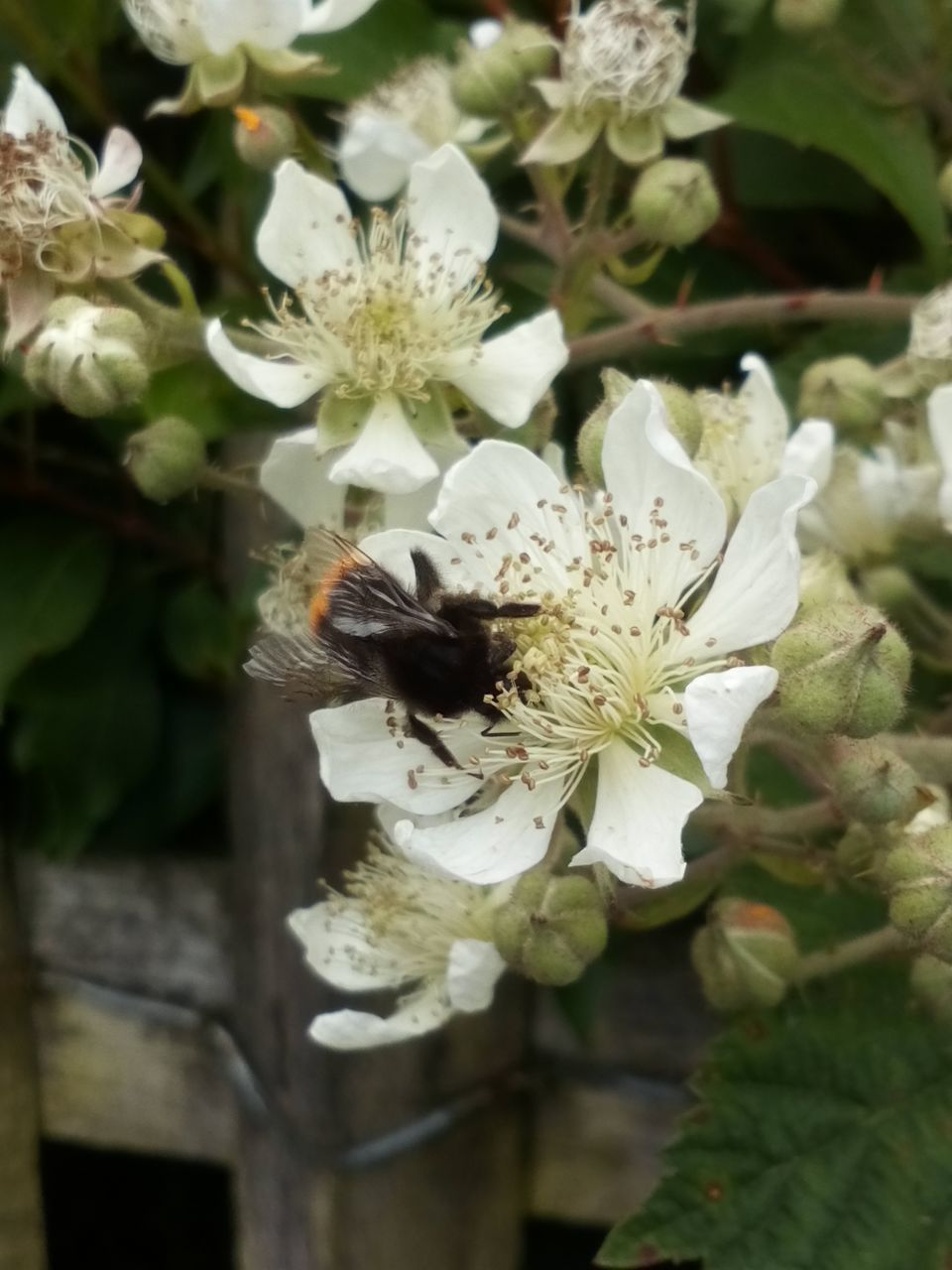 flowering plant, flower, fragility, vulnerability, plant, petal, growth, beauty in nature, freshness, flower head, bee, close-up, white color, animal themes, one animal, inflorescence, animal, invertebrate, insect, pollen, pollination, no people, outdoors, bumblebee