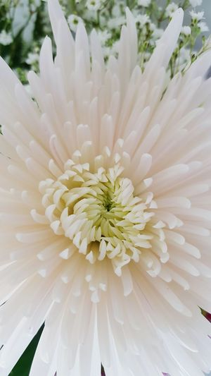 Flower Beauty In Nature White Color Flower Head Fragility Petal Nature Close-up Outdoors Growth Freshness Softness No People Day