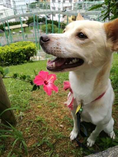 Dog Pets One Animal Domestic Animals Animal Themes Mammal Animal Tongue Sticking Out Tongue No People Panting Flower Day Outdoors Protruding Nature Grass Close-up