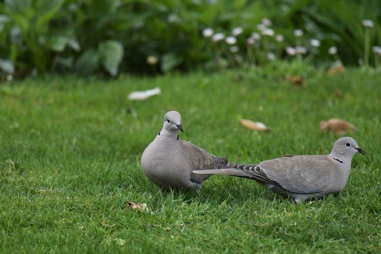 Pigeons on grassy field