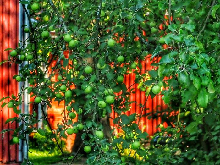 Apple Tree Raw Apples Fruitful Nature_ Collection  Nature Photography Flowers, Nature And Beauty Green Nature Trees And Nature Blooming Trees Plants Midsummer Day Tree Branch Leaf Green Color Plant Close-up Growing Greenery Blossoming  Young Plant Green The Great Outdoors - 2018 EyeEm Awards