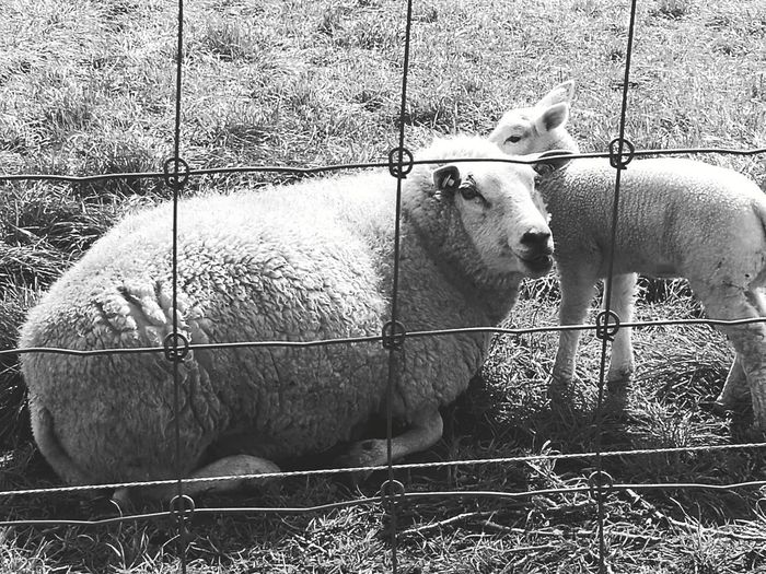 Black and white 😊 Domestic Animals Animal Themes Mammal No People Day Pets Outdoors Cage Livestock Grass Nature Close-up Made By Noesie Huawei P9 Plus Mama Sheep With Little Sheep. Blackandwhite Photography