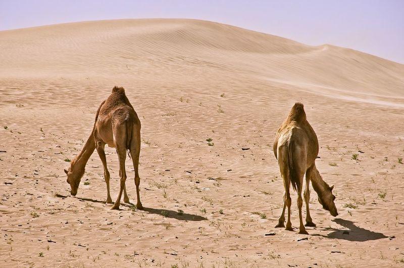 Horse standing in desert against clear sky