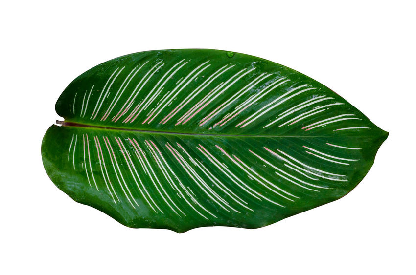 Calathea Medallion Calathea Crocata Leaves🌿 Calathea Close-up Copy Space Cut Out Directly Above Food Food And Drink Freshness Green Color Healthy Eating Indoors  Leaf Leaves No People Pattern Plant Part Shape Single Object Still Life Studio Shot Wellbeing White Background