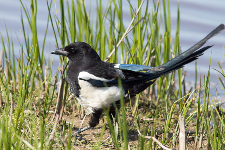 Magpie One