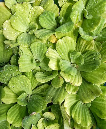 Textured  Close-up Backgrounds Pattern Waterplants Plants Green Color Green Leaves HuaweiP9Photography Mobilephotography