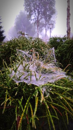 Live For The Story Tree Nature Growth No People Tranquility Beauty In Nature Close-up Outdoors Plant Day Morgen Spinnennetz Spinnenweben Tau Nebel Nebelig Spider Web