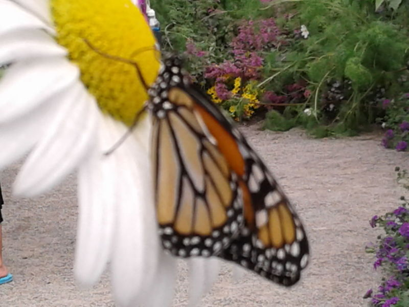 Neon Life Insect Butterfly - Insect Outdoors Flower Butterfly Mother Nature Beautiful Nature Monarch Beautiful Insect Insect Photo Insects Beautiful Nature Insect Photography Butterfly Wings Butterfly And Flowers