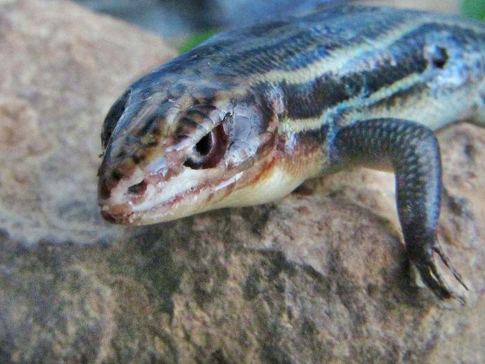 lizard Little