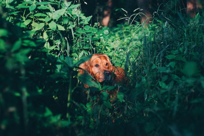 Dog Pets One Animal Animal Themes Domestic Animals Looking At Camera Mammal Plant Green Color Portrait Day Nature Outdoors Grass Growth Leaf No People Tree Goldenretriever Fujifilm_xseries Capture Tomorrow