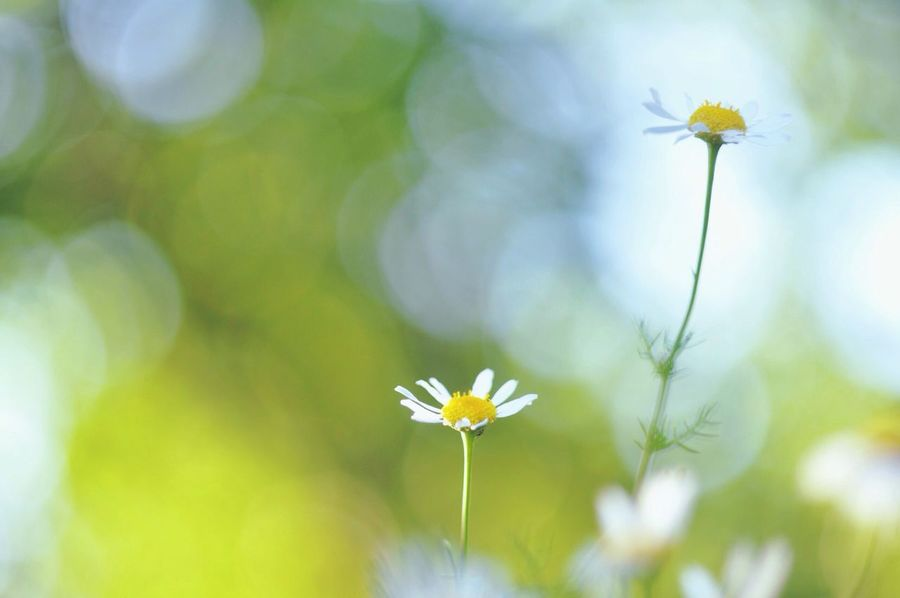 Protecting Where We Play Green Bokeh Flowers Camomile Beautiful Nature The Calmness Within Nikonphotography EyeEmNewHere