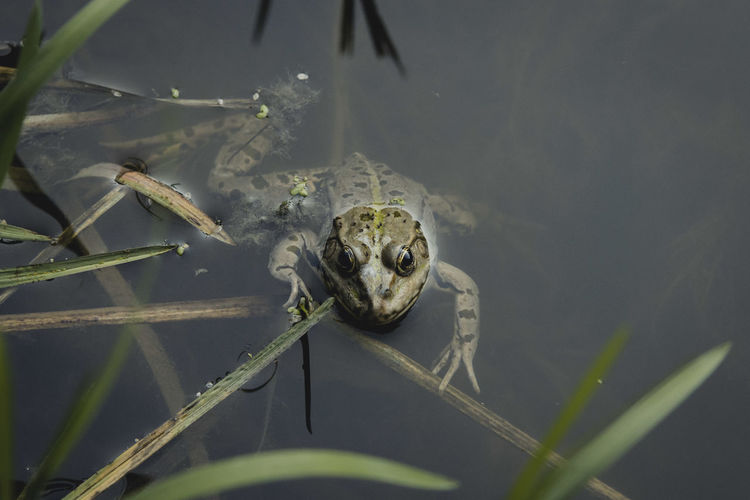 Animal Themes Animals In The Wild Day Focus On Foreground Frog Lake Nature One Animal Reflection Standing Water Swimming Swimming Water Wildlife Zoology