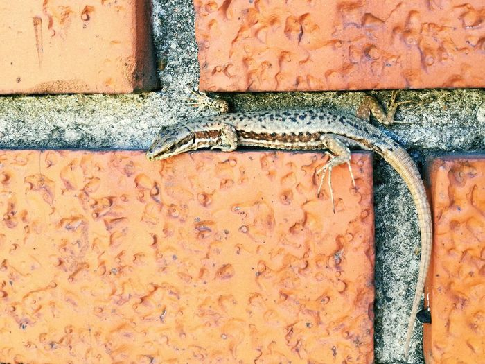 Wall Lizard Animal Garden EyeEm Selects Backgrounds Full Frame Textured  Paint Wall - Building Feature Close-up Architecture Built Structure