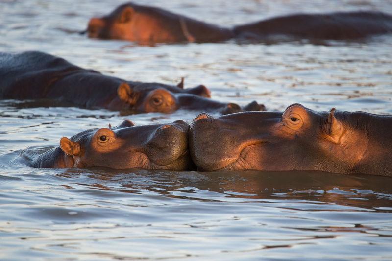View Of Hippopotamus In Water
