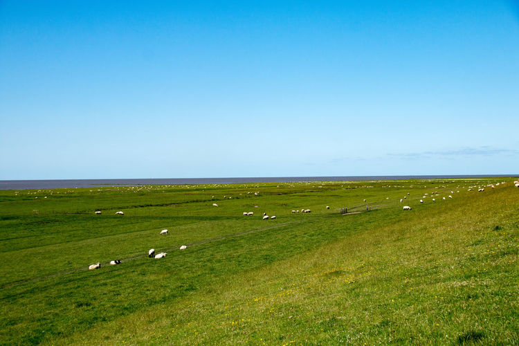 Sheep on green pasture, meadow or dike in sunny weather Animal Themes Beauty In Nature Blue Clear Sky Domestic Animals Field Flock Of Sheep Grass Grazing Green Color Hill Landscape Large Group Of Animals Livestock Meadow Nature Outdoors Pasture Rural Scene Scenics Sea Sheep Sky Tranquil Scene Tranquility