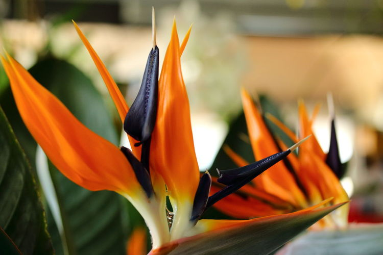 Beauty And Passion Beauty In Nature Bird Of Paradise - Plant Close-up Day Flower Flower Head Fragility Freshness Growth Nature No People Orange Color Petal Plant Red Blue Orange